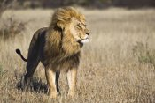 Vincent Grafhorst - African Lion male, Khutse Game Reserve, Botswana