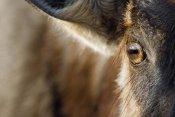 Vincent Grafhorst - Blue Wildebeest eye, Khama Rhino Sanctuary, Botswana