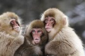 Eirik Groenningsaeter - Three Japanese Macaque babies warming each other, Jigokudani Joshinetsu Kogen National Park, Japan
