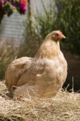 Angela Hampton - Domestic Chicken, Lemon Pekin Bard hen