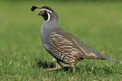Jonathan Harrod - California Quail male, Christchurch, New Zealand