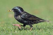 Jonathan Harrod - Common Starling walking, Christchurch, New Zealand