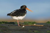 Jonathan Harrod - South Island Oystercatcher, Christchurch, New Zealand