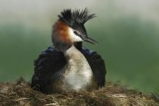 Jonathan Harrod - Great Crested Grebe on nest, Lake Alexandrina, New Zealand