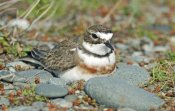 Jonathan Harrod - Double-banded Plover on ground nest, Lake Ellesmere, New Zealand