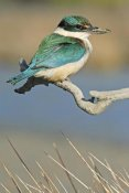 Jonathan Harrod - Sacred Kingfisher, Avon Heathcote Estuary, Christchurch, New Zealand