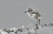 Jonathan Harrod - Double-banded Plover newly hatched chick, Lake Ellesmere, New Zealand