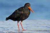 Jonathan Harrod - Variable Oystercatcher, Opoutere Beach, Coromandel Peninsula, New Zealand