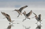Jonathan Harrod - Bar-tailed Godwit group landing, Avon Heathcote Estuary, Christchurch, New Zealand