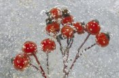 Fred Hazelhoff - Detail of berries frozen in ice