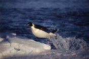 Matha Holmes - Emperor Penguin 'flying' out of water onto ice edge, Antarctica