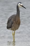 Mark Hughes - White-faced Heron wading, Porirua, New Zealand