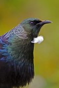 Mark Hughes - Tui, Karori Wildlife Sanctuary, Wellington, New Zealand