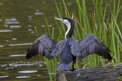 Mark Hughes - Pied Cormorant drying wings, Karori Wildlife Sanctuary, Wellington, New Zealand