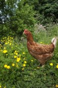 Wayne Hutchinson - Domestic Chicken, free range hen, standing in meadow amongst buttercups, England