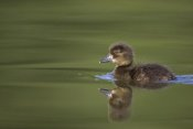 Cedric Jacquet - Tufted Duck young, swimming on lake, Bambois, Belgium