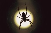 Heidi and Hans-Jurgen Koch - Spider silhouetted in its web, native to Europe