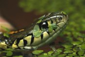 Heidi and Hans-Jurgen Koch - Common Garter Snake in water with duckweed, native to North America
