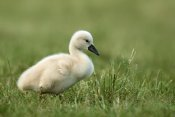 Christina Krutz - Mute Swan chick on short grass