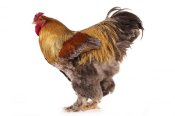 Gerard Lacz - Domestic Chicken, Partridge Brahma, cockerel, standing