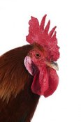 Gerard Lacz - Domestic Chicken, Gaulois Dore, cockerel, close-up of head