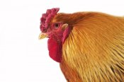 Gerard Lacz - Domestic Chicken, Partridge Brahma, cockerel, close-up of head