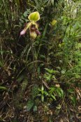 Ch'ien Lee - Orchid flower in rainforest, Sabah, Borneo, Malaysia