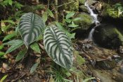 Ch'ien Lee - Taro leaves near creek in rainforest, Sabah, Borneo, Malaysia