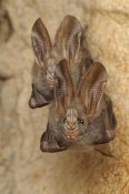 Ch'ien Lee - Lesser False Vampire Bat pair roosting in cave, Sekunyit, Bau, Malaysia