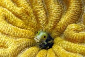 Hans Leijnse - Secretary Blenny peeking out of its coral burrow, Bonaire