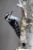 Scott Leslie - Downy Woodpecker, Canada