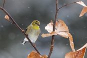 Scott Leslie - American Goldfinch in winter, Canada