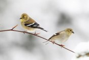 Scott Leslie - American Goldfinch pair, Nova Scotia, Canada
