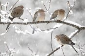 Scott Leslie - Mourning Dove group in winter, Nova Scotia, Canada