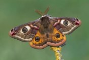 Thomas Marent - Emperor Moth, Switzerland