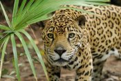 Thomas Marent - Jaguar peering through brush, Belize