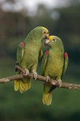 Thomas Marent - Yellow-crowned Parrot pair, Venezuela