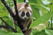 Thomas Marent - Slow Loris, northern Sumatra, Indonesia