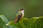Thomas Marent - Scintillant Hummingbird female, Costa Rica