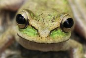 Thomas Marent - Tarraco Treefrog portrait, Colombia. Sequence 2 of 2