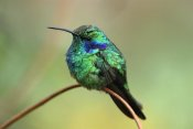 Thomas Marent - Green Violet-ear hummingbird perched on twig, Costa Rica