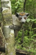 Thomas Marent - Crowned Lemur female, Ankarana Special Reserve, Madagascar