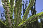 Thomas Marent - Madagascan Ocotillo, Spiny Forest, Berenty Private Reserve, Madagascar