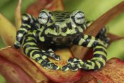 Thomas Marent - Tiger's Treefrog on bromeliad, new species discovered in 2007, Colombia