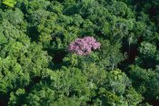 Thomas Marent - Pink flowering tree in rainforest canopy, Canaima National Park, Venezuela
