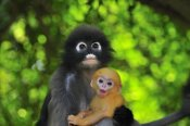 Thomas Marent - Dusky Leaf Monkey mother with baby, Khao Sam Roi Yot National Park, Thailand