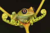 Thomas Marent - Green Bright-eyed Frog on a fern, Andasibe-Mantadia National Park, Madagascar