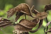 Thomas Marent - Fantastic Leaf-tail Gecko mimicking leaves, Andasibe-Mantadia National Park, Madagascar