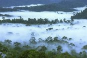 Thomas Marent - Canopy of lowland rainforest at dawn with fog, Danum Valley Conservation Area, Borneo, Malaysia