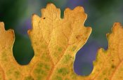 Eddy Marissen - Close up of autumn leaf, Netherlands